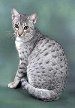 Photos Of Striped And Spotted Tan And Grey Cat Breeds